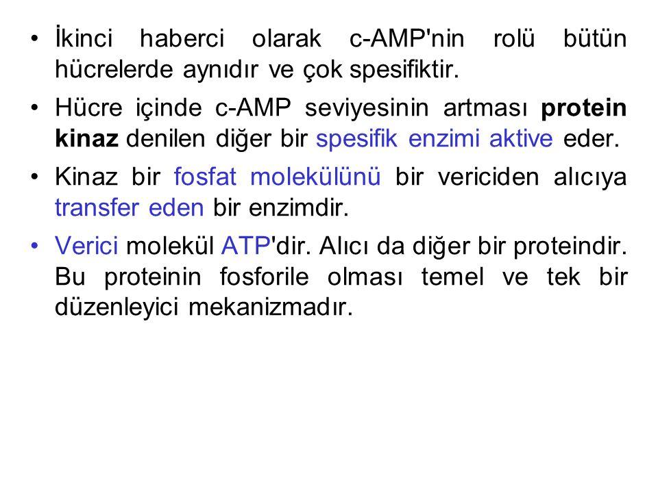 İkinci haberci olarak c-AMP nin rolü bütün hücrelerde aynıdır ve çok spesifiktir.