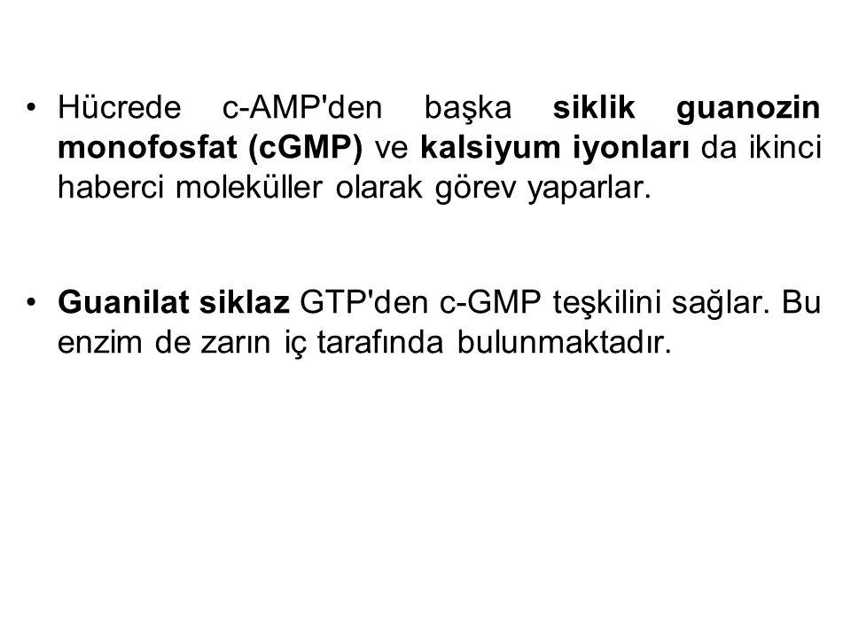 Hücrede c-AMP den başka siklik guanozin monofosfat (cGMP) ve kalsiyum iyonları da ikinci haberci moleküller olarak görev yaparlar.