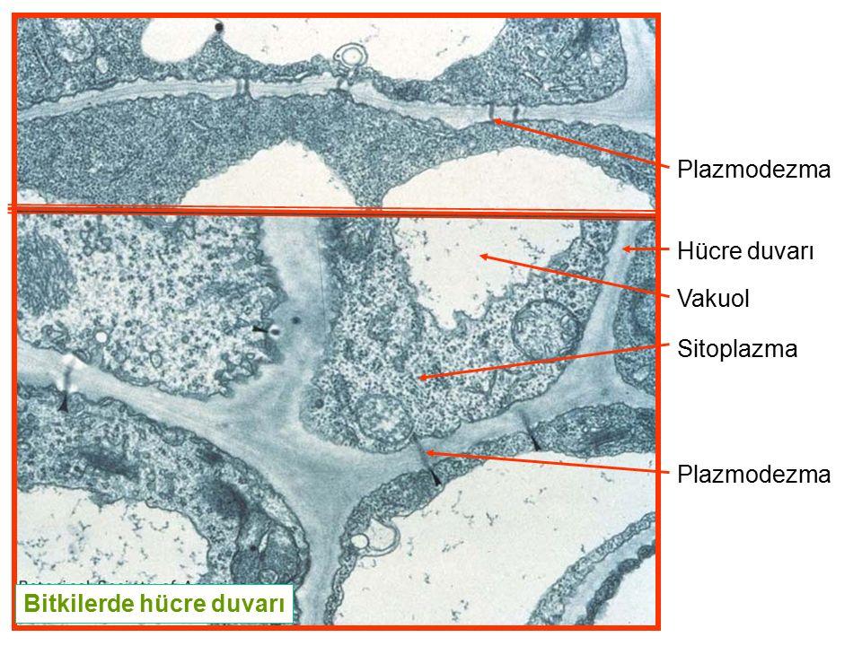 Plazmodezma Hücre duvarı Vakuol Sitoplazma Plazmodezma Bitkilerde hücre duvarı