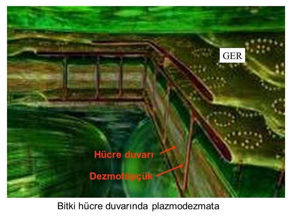 GER Hücre duvarı Dezmotüpçük Bitki hücre duvarında plazmodezmata