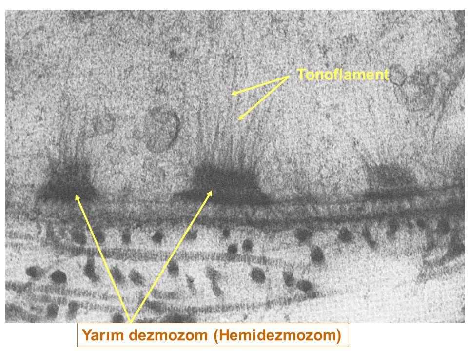 Tonoflament Yarım dezmozom (Hemidezmozom)