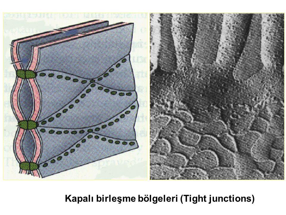 Kapalı birleşme bölgeleri (Tight junctions)