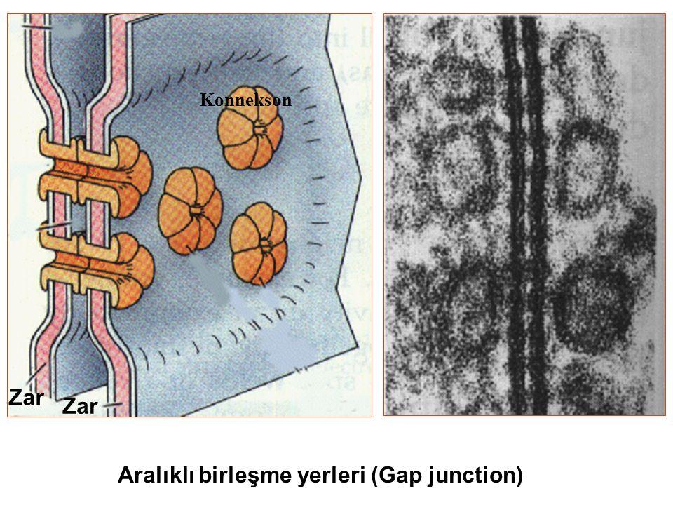 Aralıklı birleşme yerleri (Gap junction)