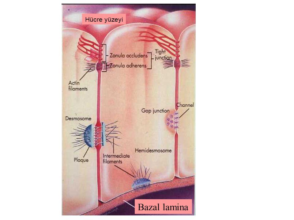 Hücre yüzeyi Bazal lamina