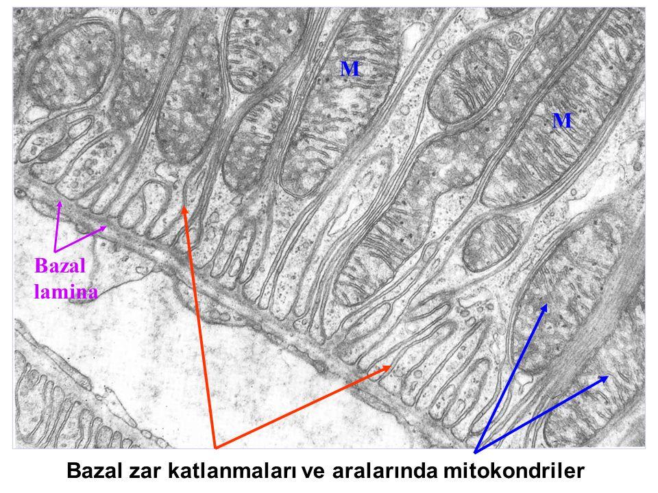 M M Bazal lamina Bazal zar katlanmaları ve aralarında mitokondriler