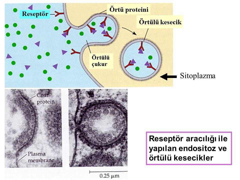 Reseptör aracılığı ile yapılan endositoz ve örtülü kesecikler