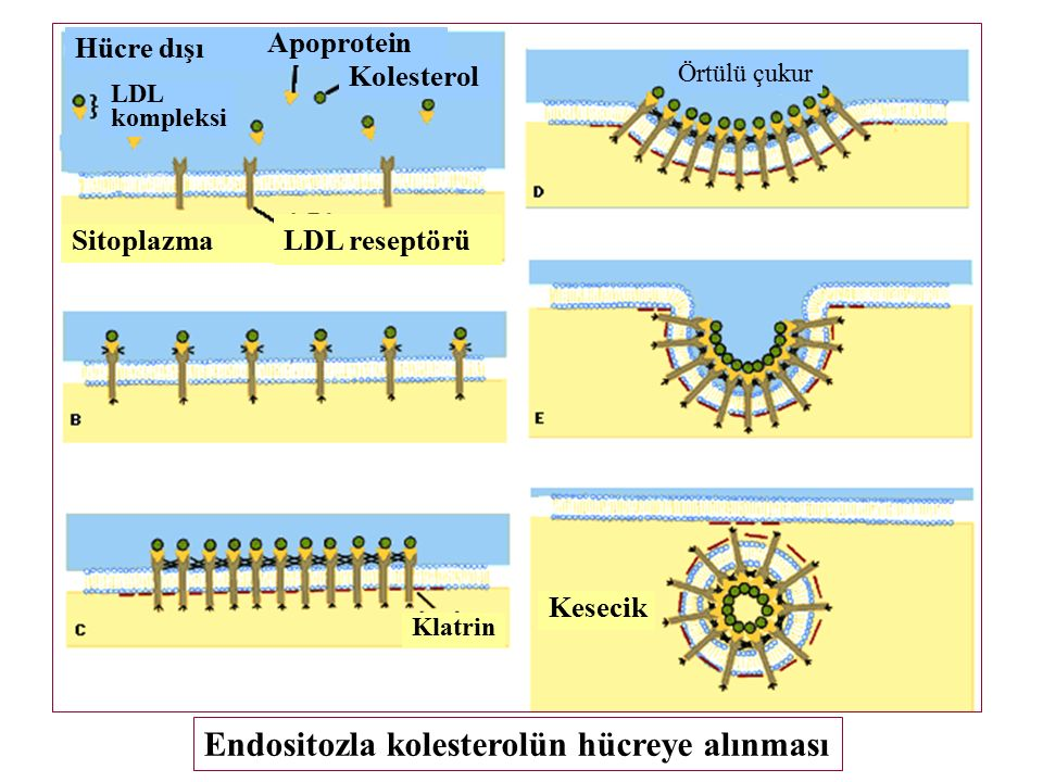 Endositozla kolesterolün hücreye alınması