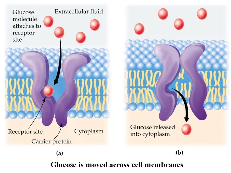 Glucose is moved across cell membranes