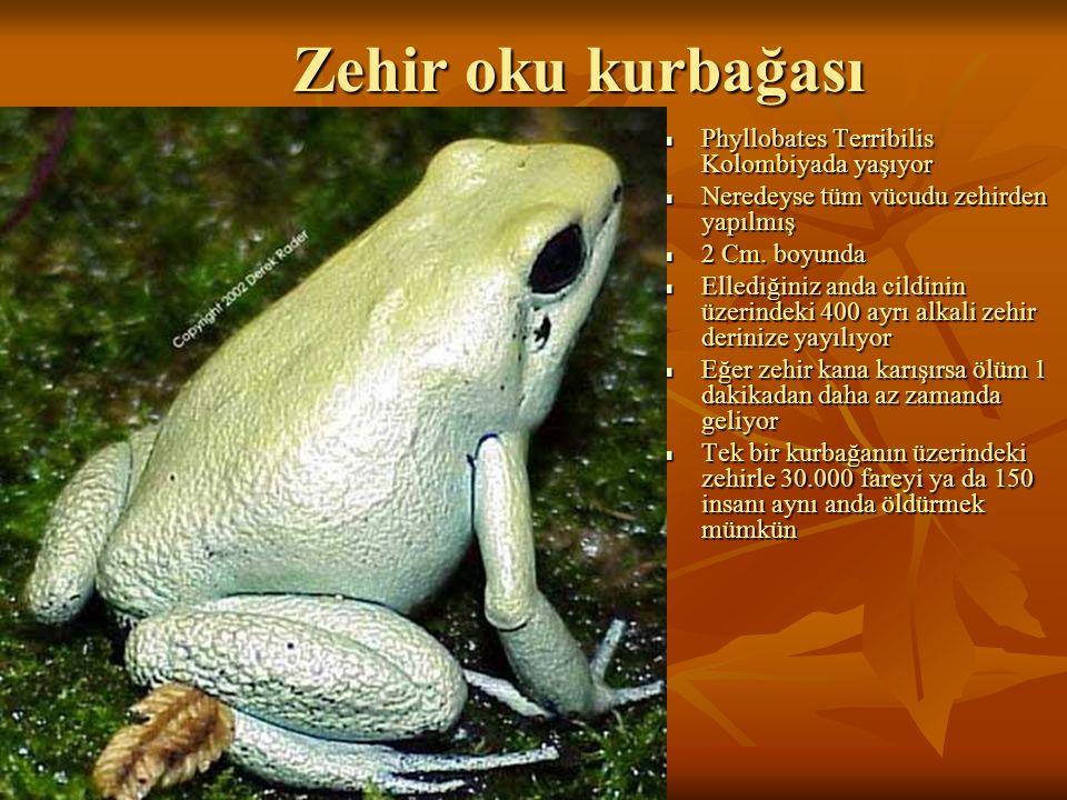Zehir oku kurbağası Phyllobates Terribilis Kolombiyada yaşıyor