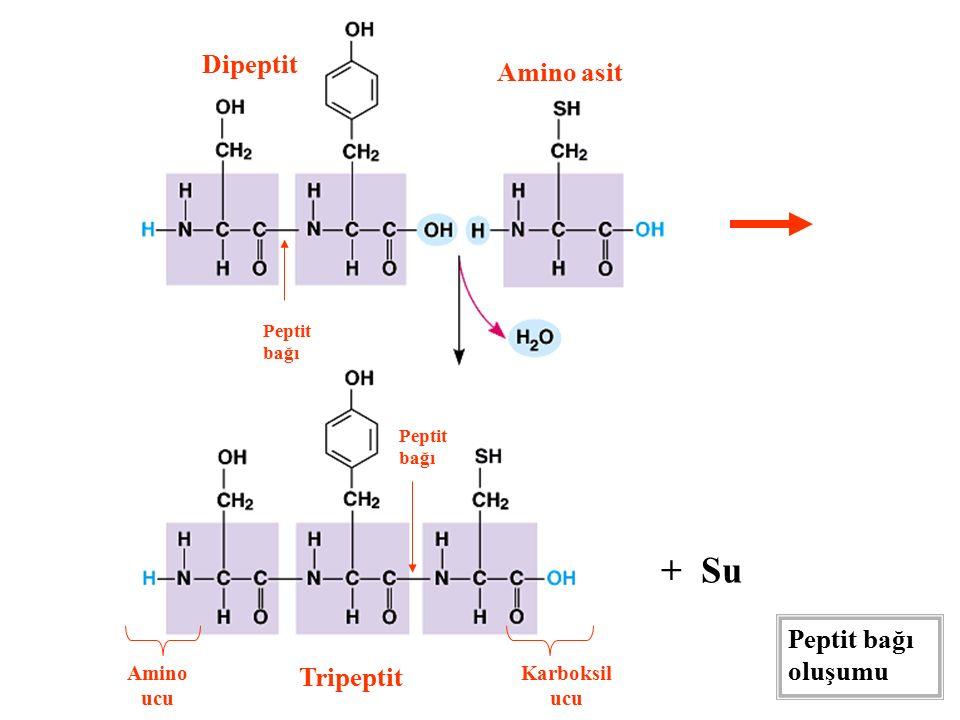 + Su Dipeptit Amino asit Peptit bağı oluşumu Tripeptit Amino ucu