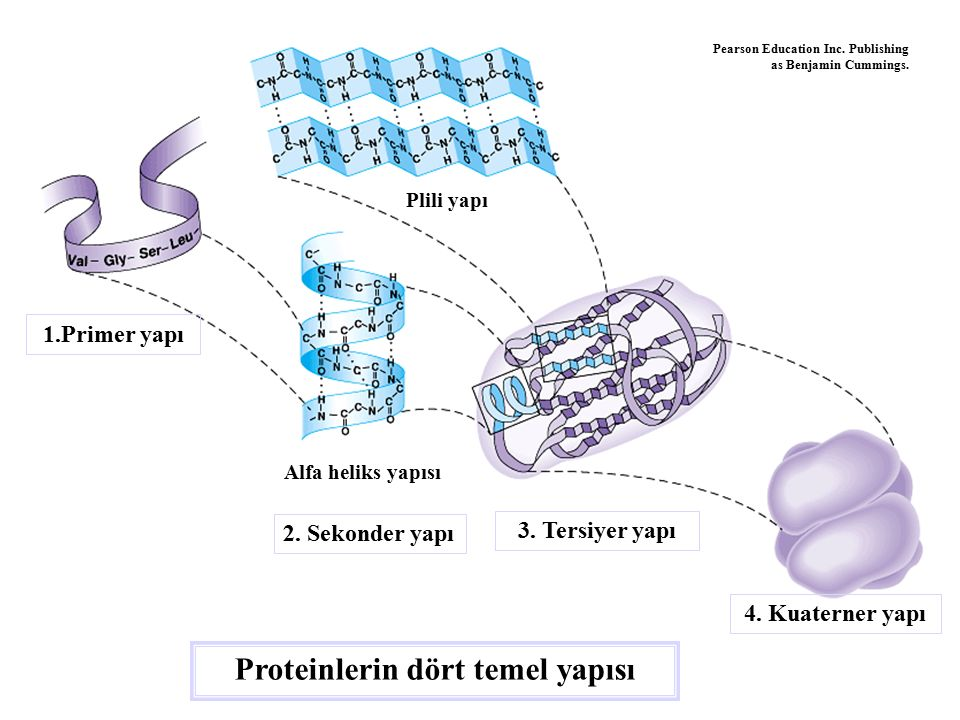Proteinlerin dört temel yapısı