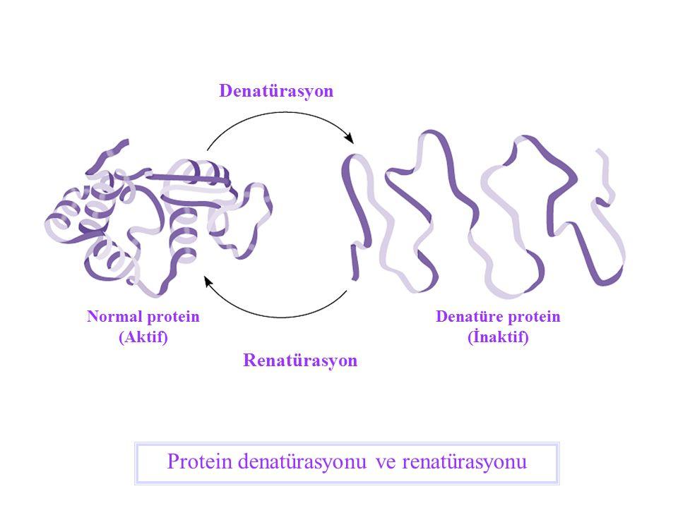 Normal protein (Aktif) Denatüre protein (İnaktif)