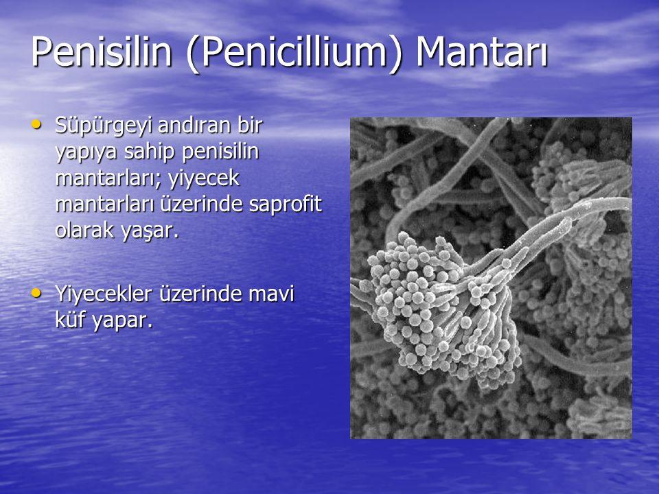 Penisilin (Penicillium) Mantarı