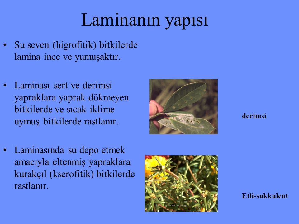 Laminanın yapısı Su seven (higrofitik) bitkilerde lamina ince ve yumuşaktır.