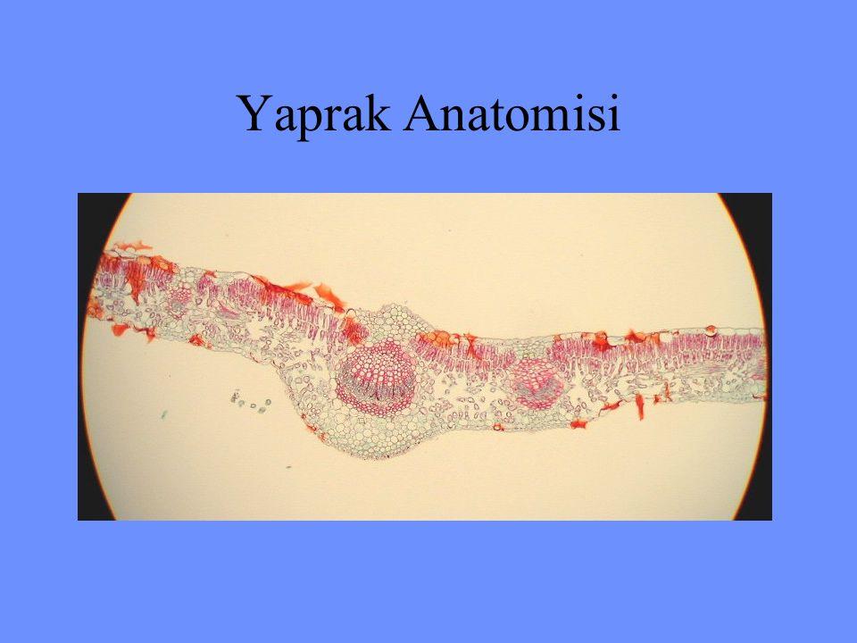 Yaprak Anatomisi