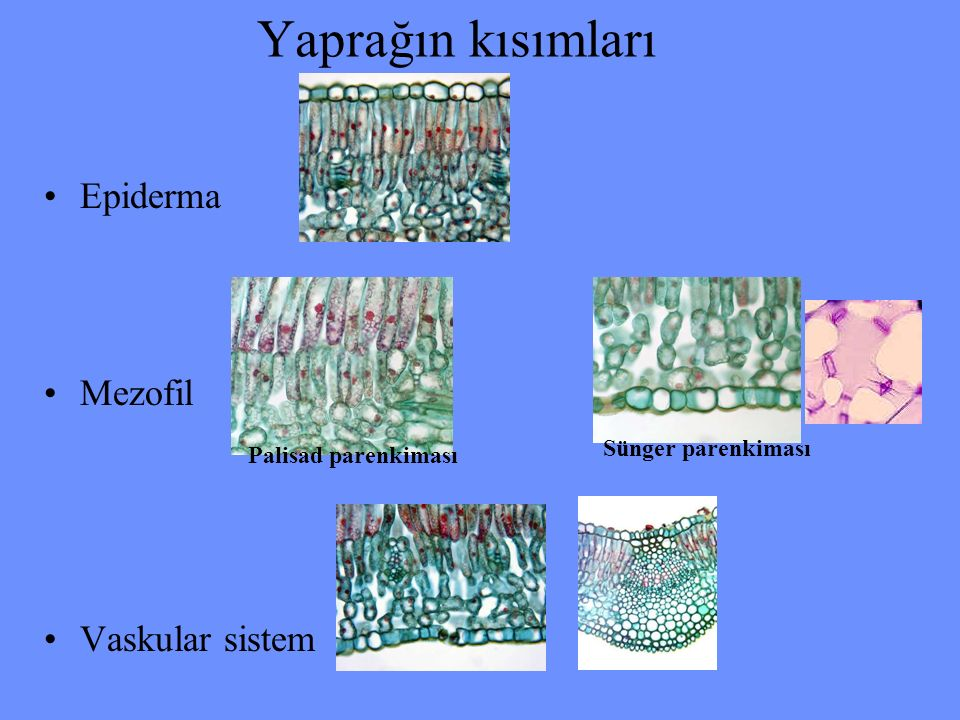 Yaprağın kısımları Epiderma Mezofil Vaskular sistem Sünger parenkiması