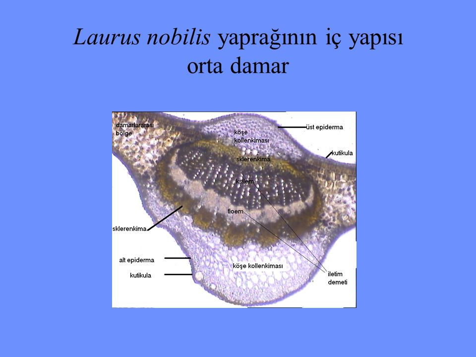 Laurus nobilis yaprağının iç yapısı orta damar