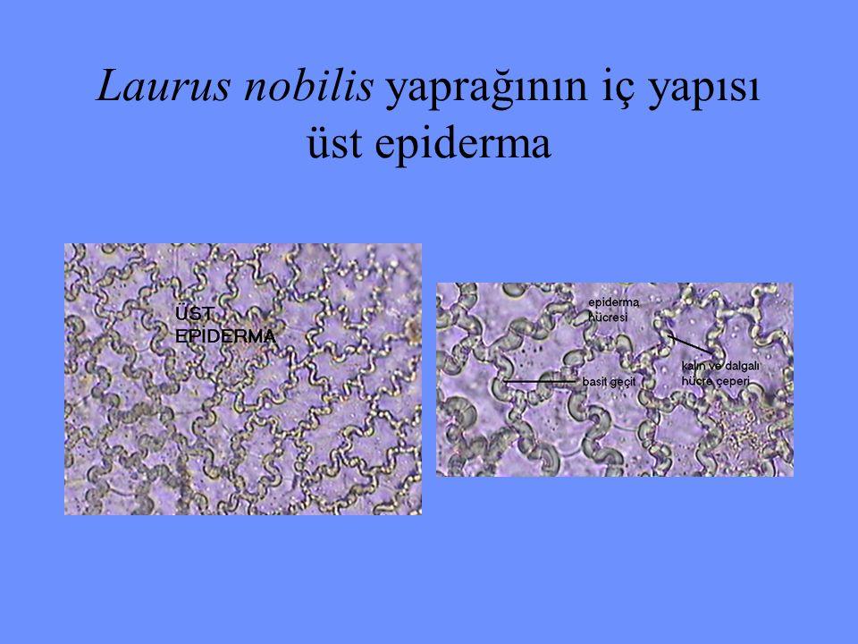 Laurus nobilis yaprağının iç yapısı üst epiderma