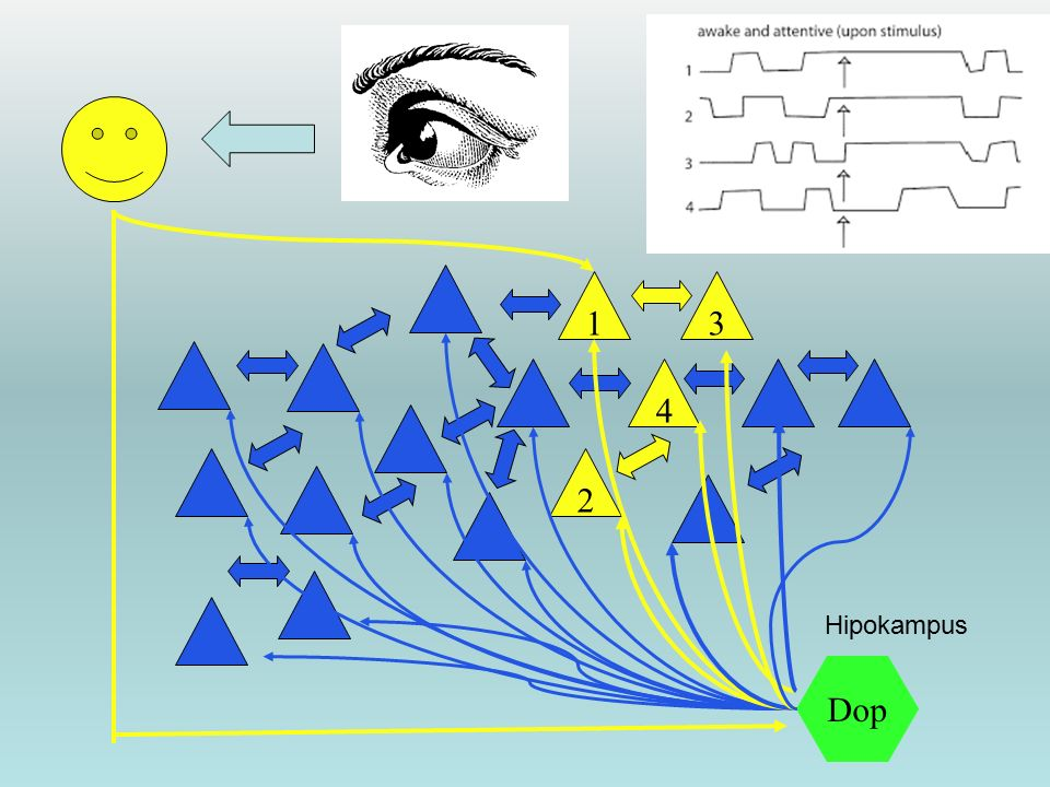 1 3 4 2 Hipokampus Dop