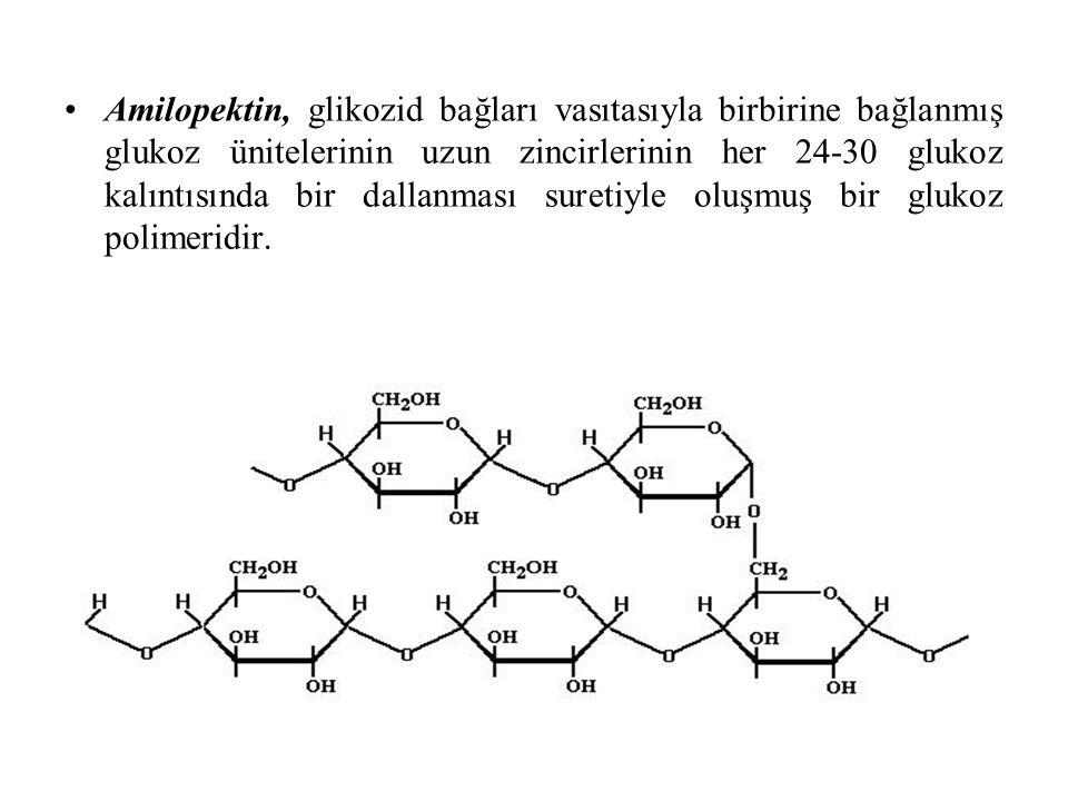 Amilopektin, glikozid bağları vasıtasıyla birbirine bağlanmış glukoz ünitelerinin uzun zincirlerinin her 24-30 glukoz kalıntısında bir dallanması suretiyle oluşmuş bir glukoz polimeridir.