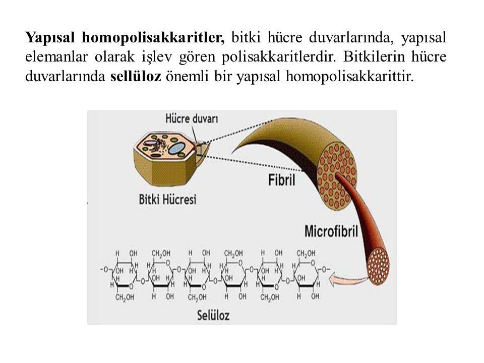 Yapısal homopolisakkaritler, bitki hücre duvarlarında, yapısal elemanlar olarak işlev gören polisakkaritlerdir.
