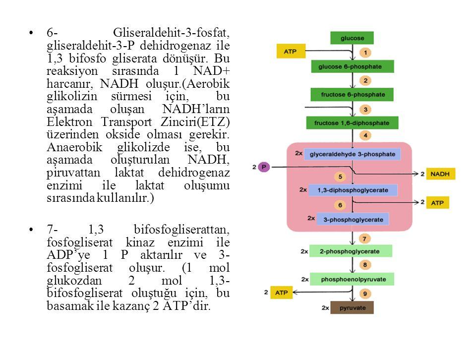 6- Gliseraldehit-3-fosfat, gliseraldehit-3-P dehidrogenaz ile 1,3 bifosfo gliserata dönüşür. Bu reaksiyon sırasında 1 NAD+ harcanır, NADH oluşur.(Aerobik glikolizin sürmesi için, bu aşamada oluşan NADH'ların Elektron Transport Zinciri(ETZ) üzerinden okside olması gerekir. Anaerobik glikolizde ise, bu aşamada oluşturulan NADH, piruvattan laktat dehidrogenaz enzimi ile laktat oluşumu sırasında kullanılır.)