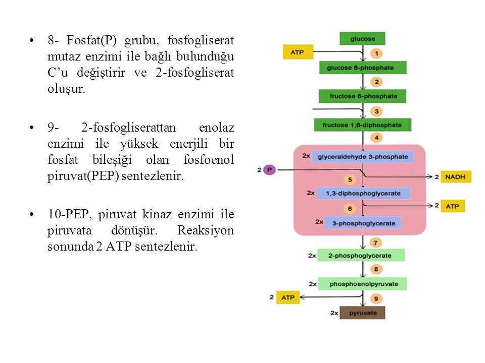 8- Fosfat(P) grubu, fosfogliserat mutaz enzimi ile bağlı bulunduğu C'u değiştirir ve 2-fosfogliserat oluşur.