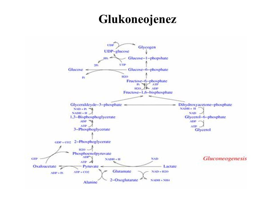 Glukoneojenez