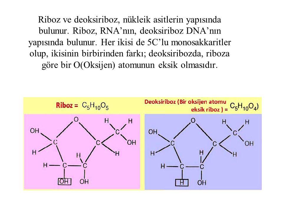 Riboz ve deoksiriboz, nükleik asitlerin yapısında bulunur