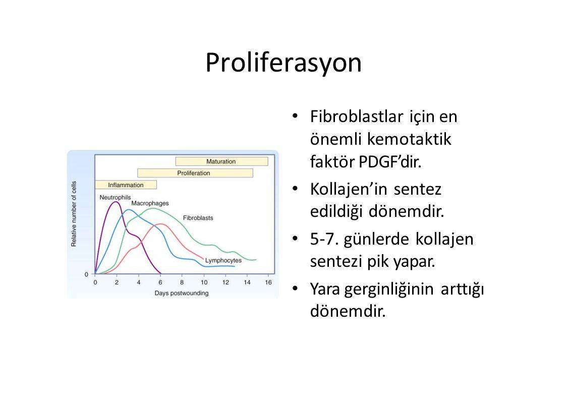 Proliferasyon Fibroblastlar için en önemli kemotaktik faktör PDGF'dir.
