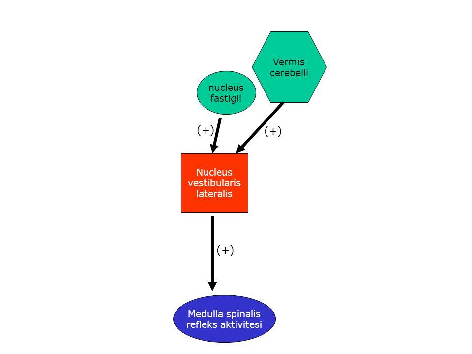 (+) (+) (+) Vermis cerebelli nucleus fastigii Nucleus vestibularis