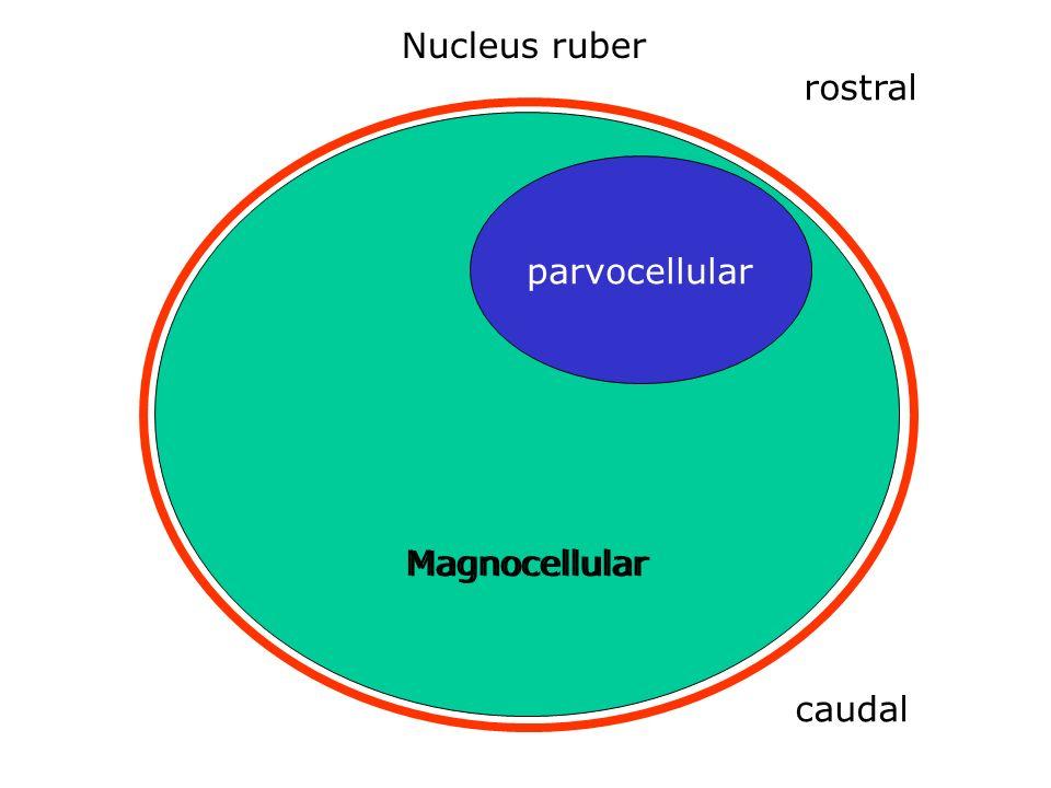 Nucleus ruber rostral Magnocellular Magnocellular parvocellular caudal