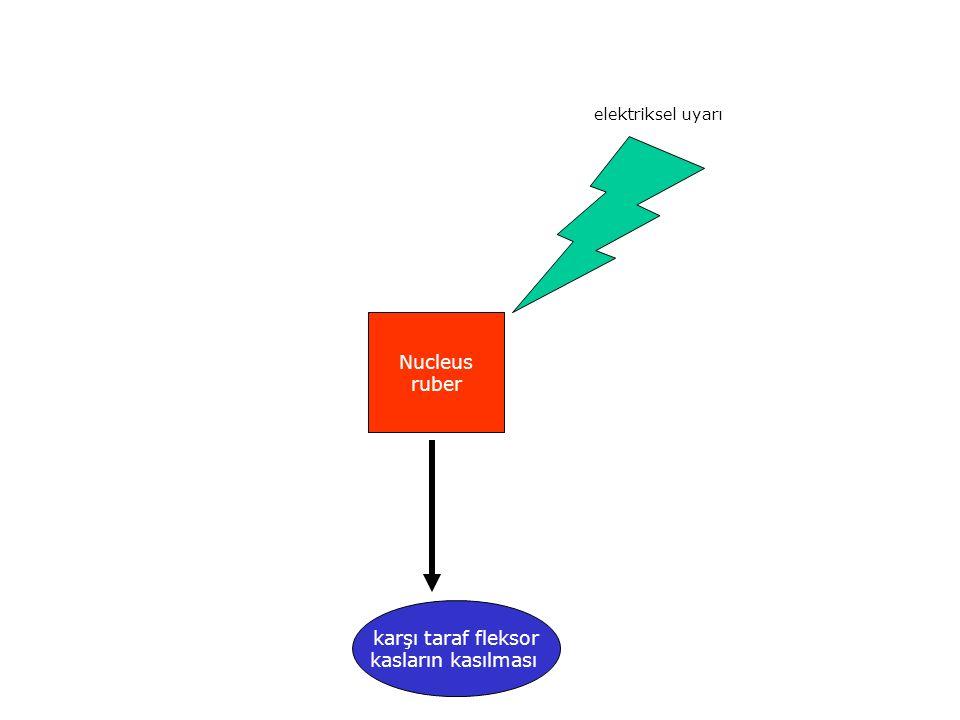 elektriksel uyarı Nucleus ruber karşı taraf fleksor kasların kasılması