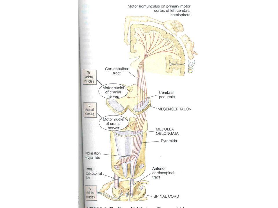 Tr corticospinalis Tr. corticonuclearis