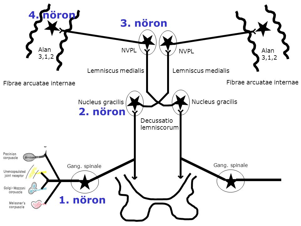 4. nöron 3. nöron 2. nöron 1. nöron NVPL Alan 3,1,2 Lemniscus medialis