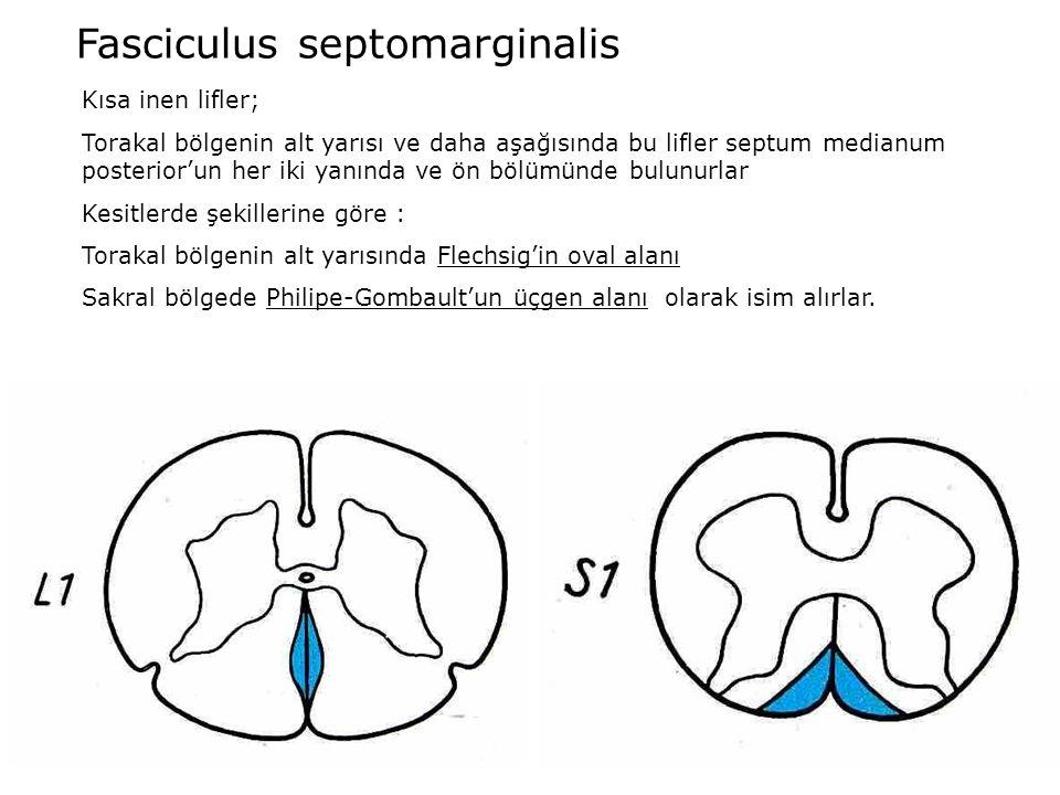Fasciculus septomarginalis