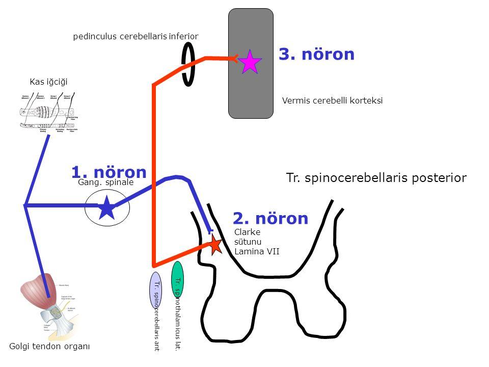 3. nöron 1. nöron 2. nöron Tr. spinocerebellaris posterior