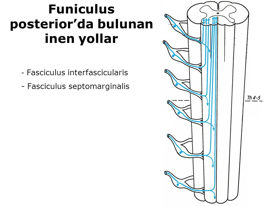 Funiculus posterior'da bulunan inen yollar