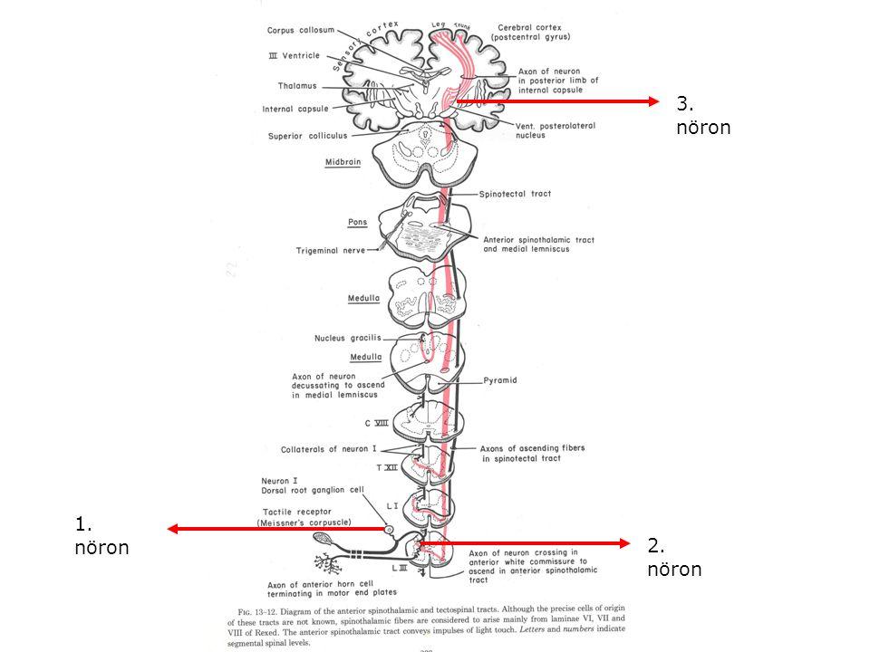 3. nöron 1. nöron 2. nöron