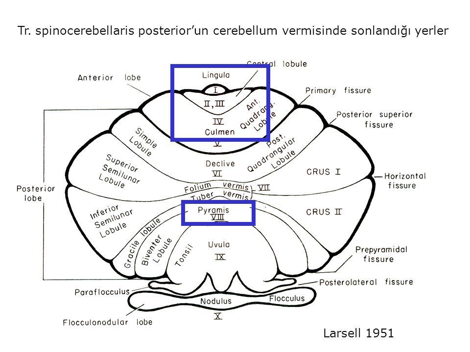 Tr. spinocerebellaris posterior'un cerebellum vermisinde sonlandığı yerler
