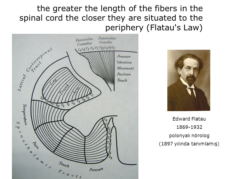 the greater the length of the fibers in the spinal cord the closer they are situated to the periphery (Flatau s Law)
