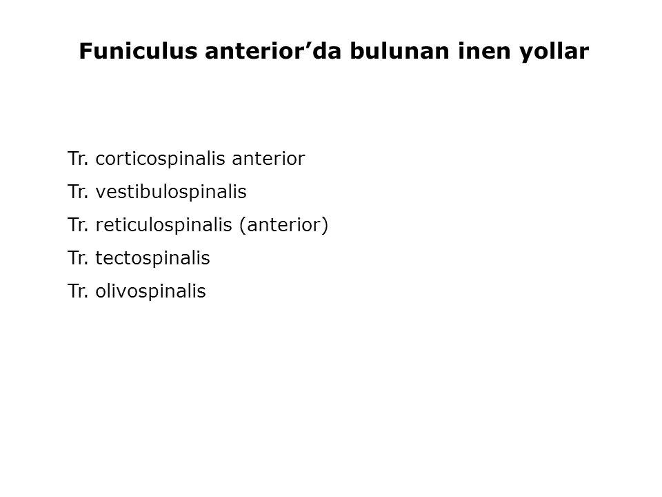 Funiculus anterior'da bulunan inen yollar