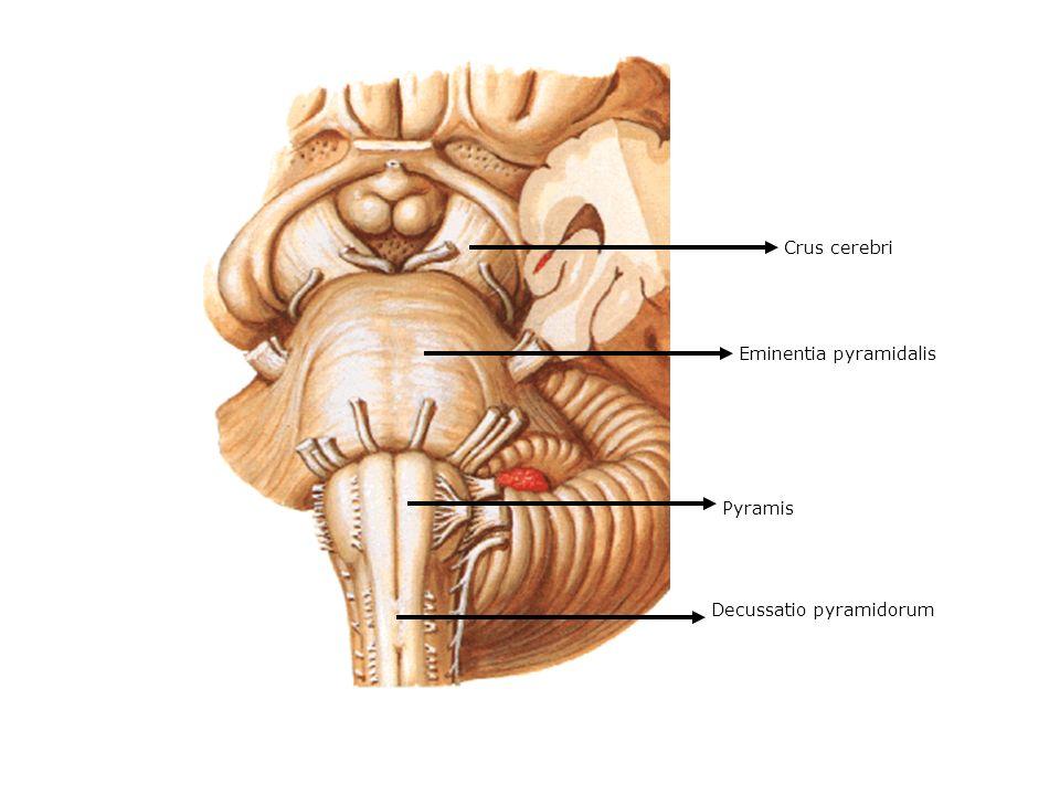 Crus cerebri Eminentia pyramidalis Pyramis Decussatio pyramidorum
