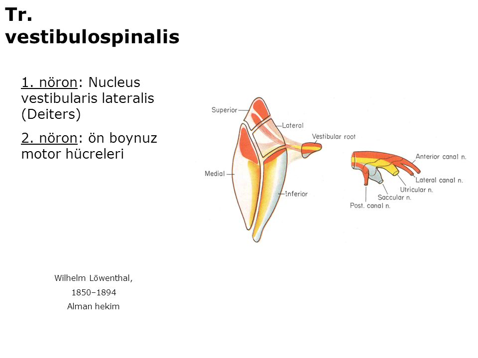Tr. vestibulospinalis 1. nöron: Nucleus vestibularis lateralis (Deiters) 2. nöron: ön boynuz motor hücreleri.