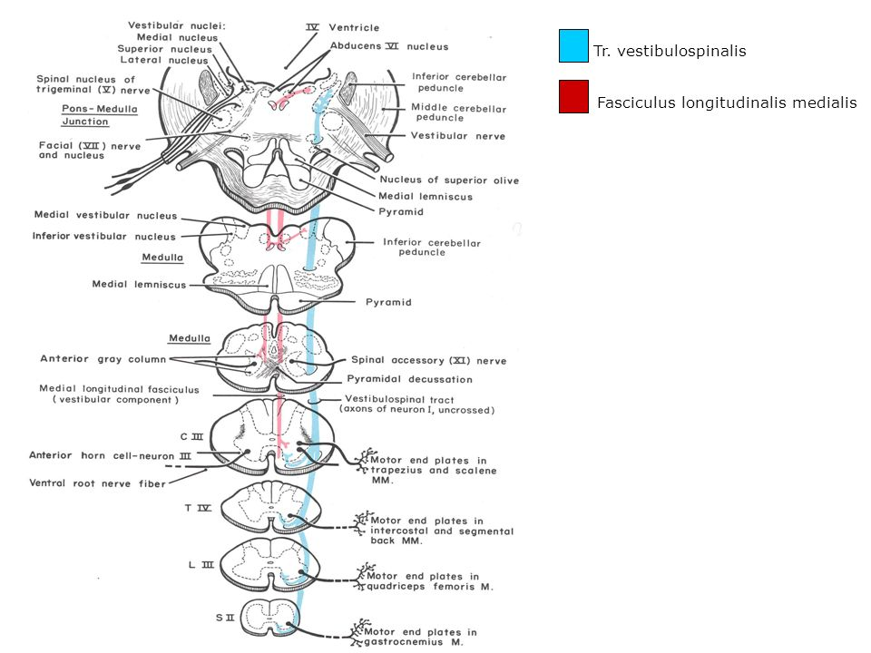Tr. vestibulospinalis Fasciculus longitudinalis medialis