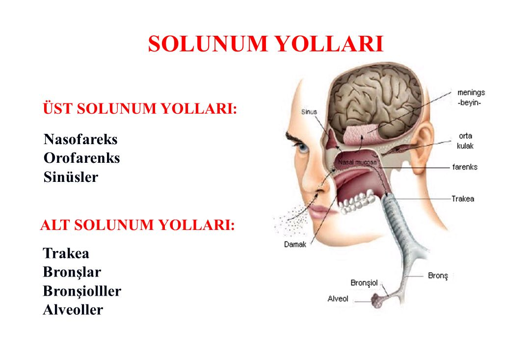 SOLUNUM YOLLARI ÜST SOLUNUM YOLLARI: Nasofareks Orofarenks Sinüsler