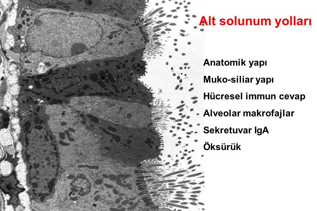 Alt solunum yolları Anatomik yapı Muko-siliar yapı