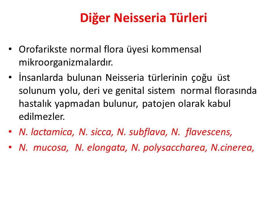 Diğer Neisseria Türleri