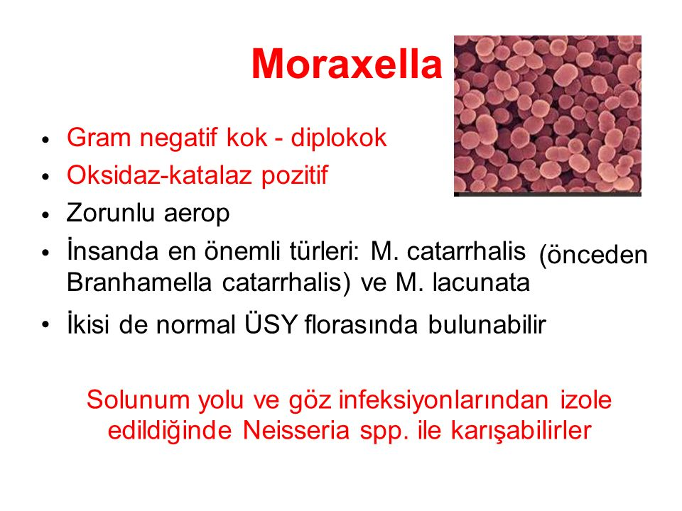 Moraxella Gram negatif kok - diplokok Oksidaz-katalaz pozitif