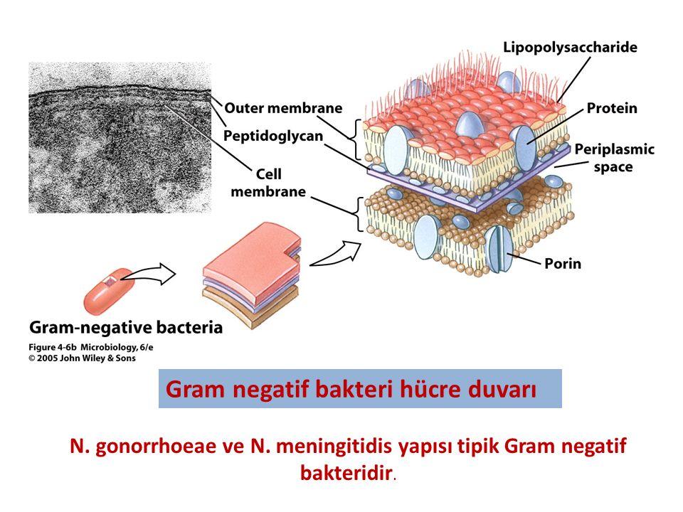 Gram negatif bakteri hücre duvarı
